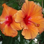 Фото 18: Оранжевый гибискус