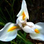Фото 19: Ирис белый