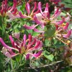Фото 10: Жимолость розовая декоративная