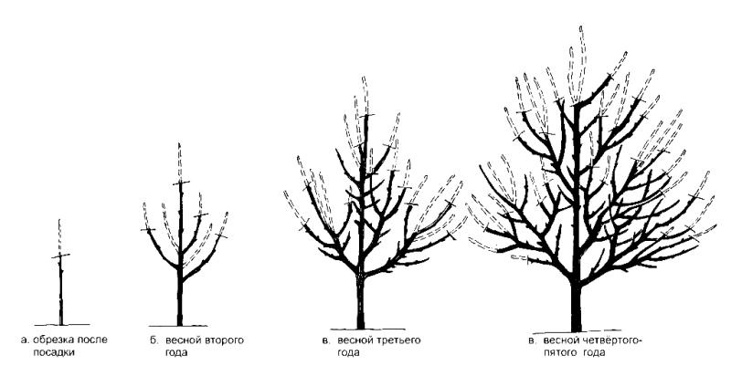 Схема формирования кроны абрикосового дерева с помощью обрезки