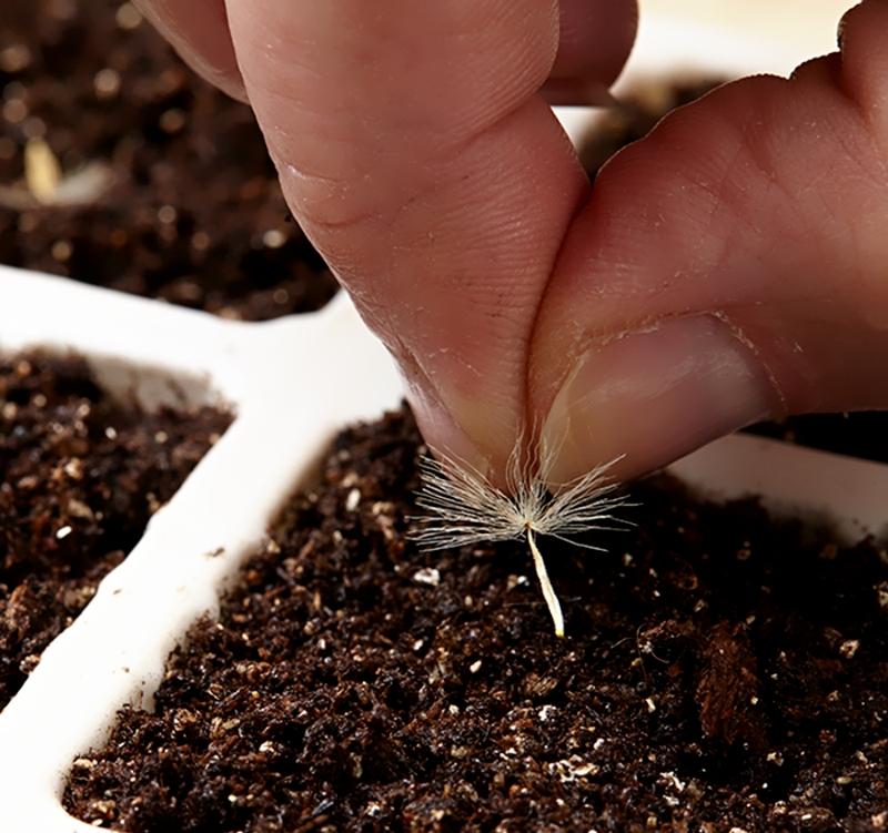 Посадка семян герберы
