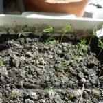 Фото 113: Появление ростков пихты из семян