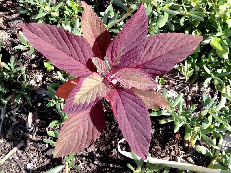 Листья красного амаранта