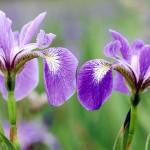 Фото 26: Фиолетовый ирис