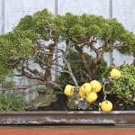 Фото 27: Плоды айвы на бансае