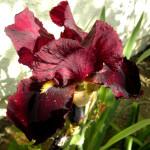 Фото 27: Красный ирис