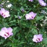 Фото 28: Розовый кустовой гибискус
