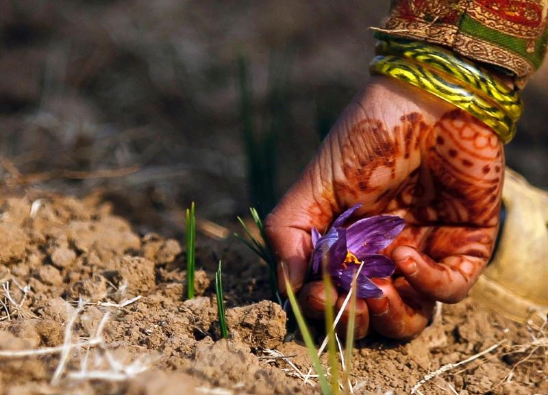 Шафран (крокус пурпурный)