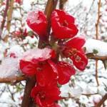 Фото 28: Цветение айвы зимой
