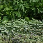 Фото 28: Сочетание розмарина с другими травами