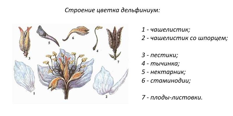 Строение цветка дельфиниума