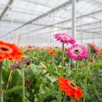 Фото 27: Выращивание герберы в теплице