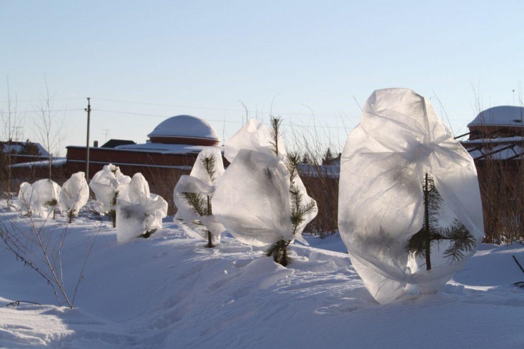 Укрывание маленькой пихты на зиму