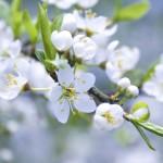 Фото 29: Белые цветы вишни