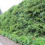 Фото 124: Живая изгородь из пихты