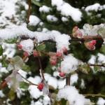 Фото 33: Бутоны айвы зимой