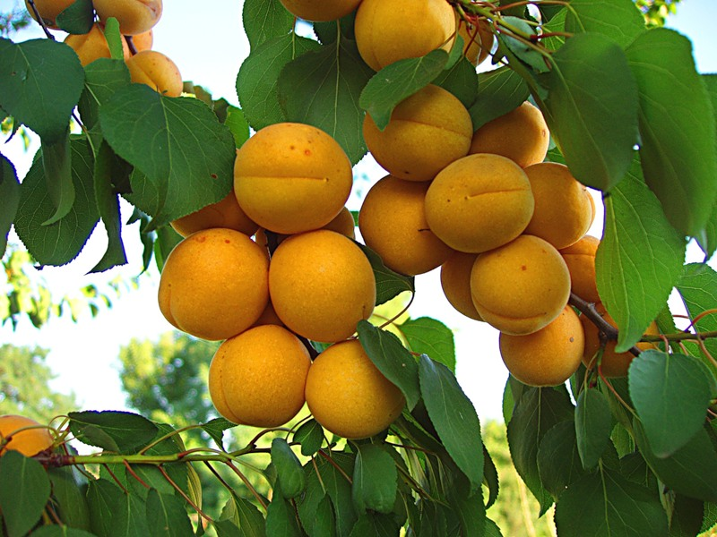 Колоновидные абрикосы