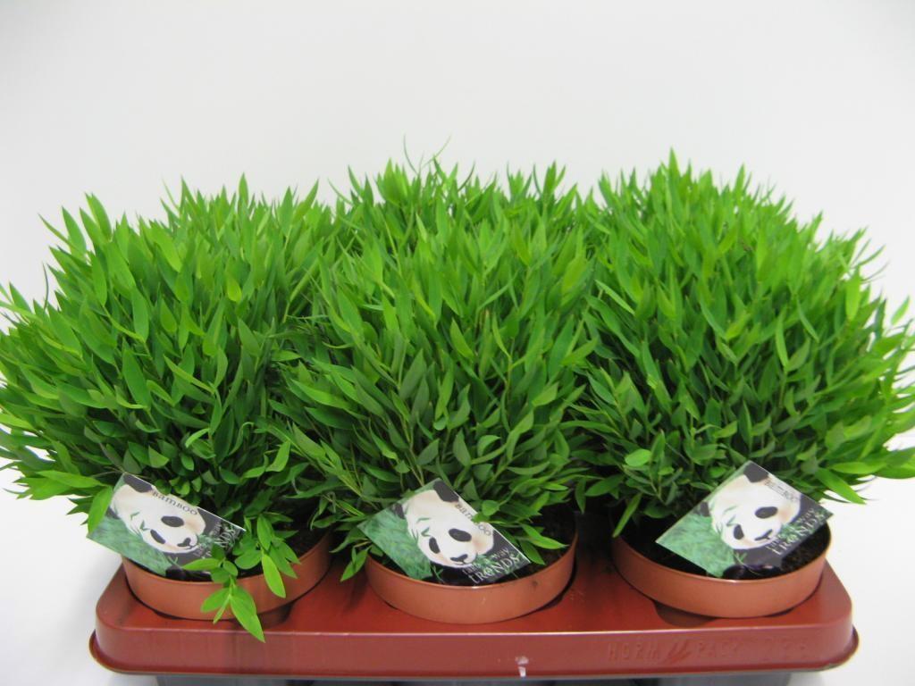 Комнатное растение бамбук