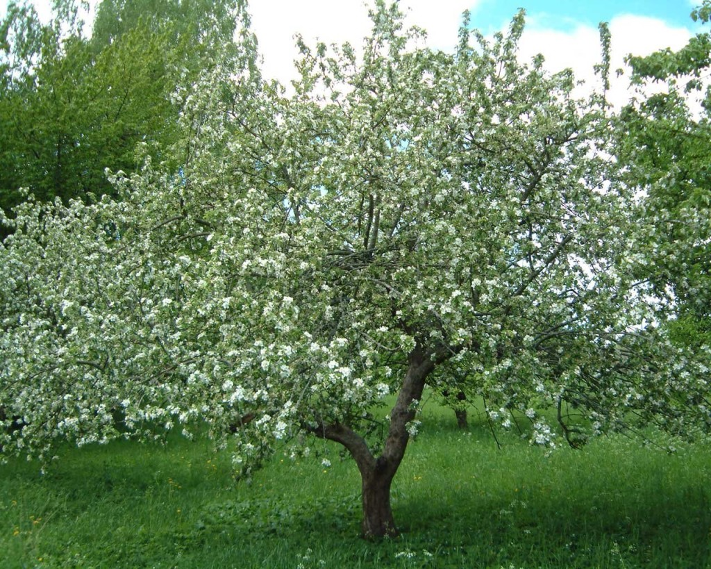 Молодая яблоня
