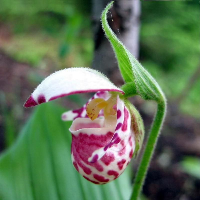Растение венерин башмачок