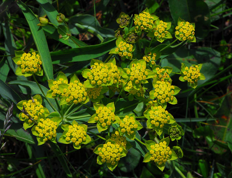 Растение володушка