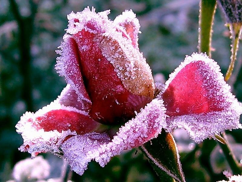 Роза в зимний период