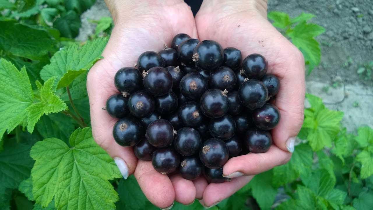 Сорта и выращивание черной смородины