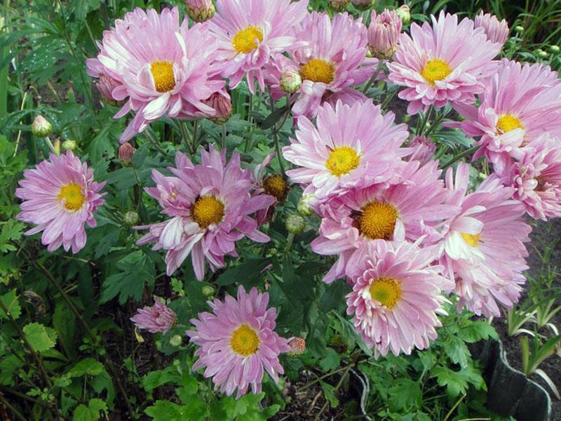 Цветок хризантема