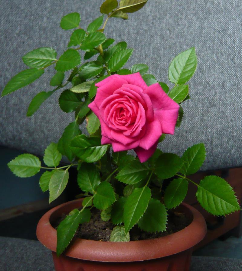 Фото 29: Очень красивая китайская роза в горшочке