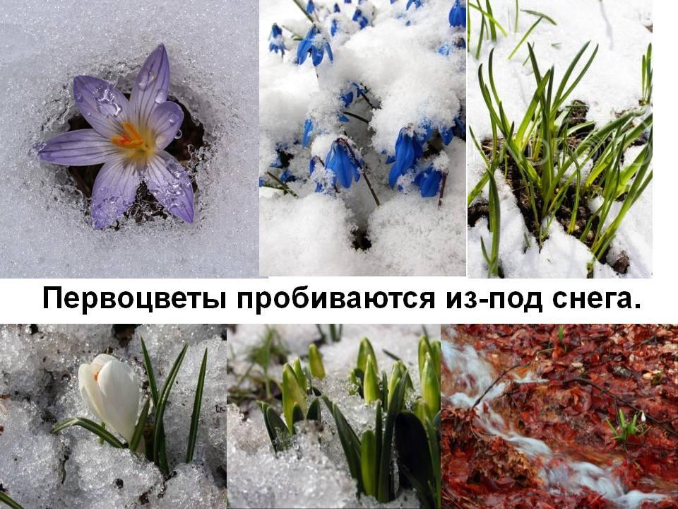 Фото 2: 0019-019-Pervotsvety-probivajutsja-iz-pod-snega