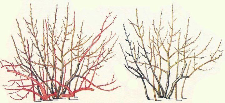 Схема обрезки куста смородины