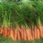 Фото 12: Морковь