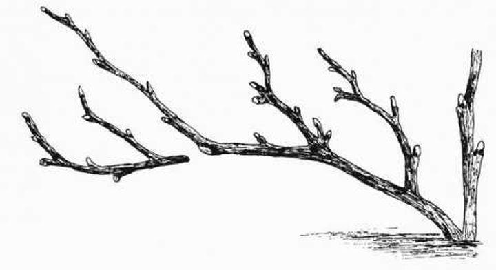 Обрезка старой ветки до сильного бокового ответвления