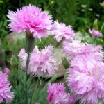 Фото 10: Розовые