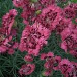 Фото 13: Розовые гвоздики