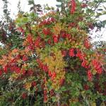 Фото 22: Плоды барбариса