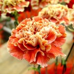 Фото 25: Оранжевые