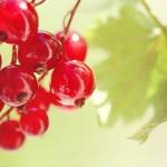 Фото 29: Брусничные ягоды