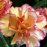 Фото 30: Персиковый цвет