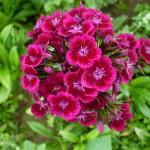 Фото 4: Гвоздика в саду
