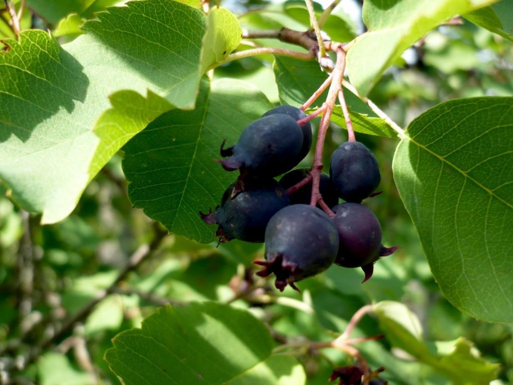 Ирга плод