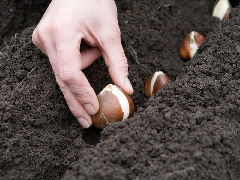 Высадка луковиц тюльпанов