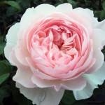 Фото 7: Пионовые розы