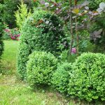Фото 136: Вечнозеленый самшит в саду