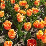 Фото 9: Сорт тюльпанов Канкан