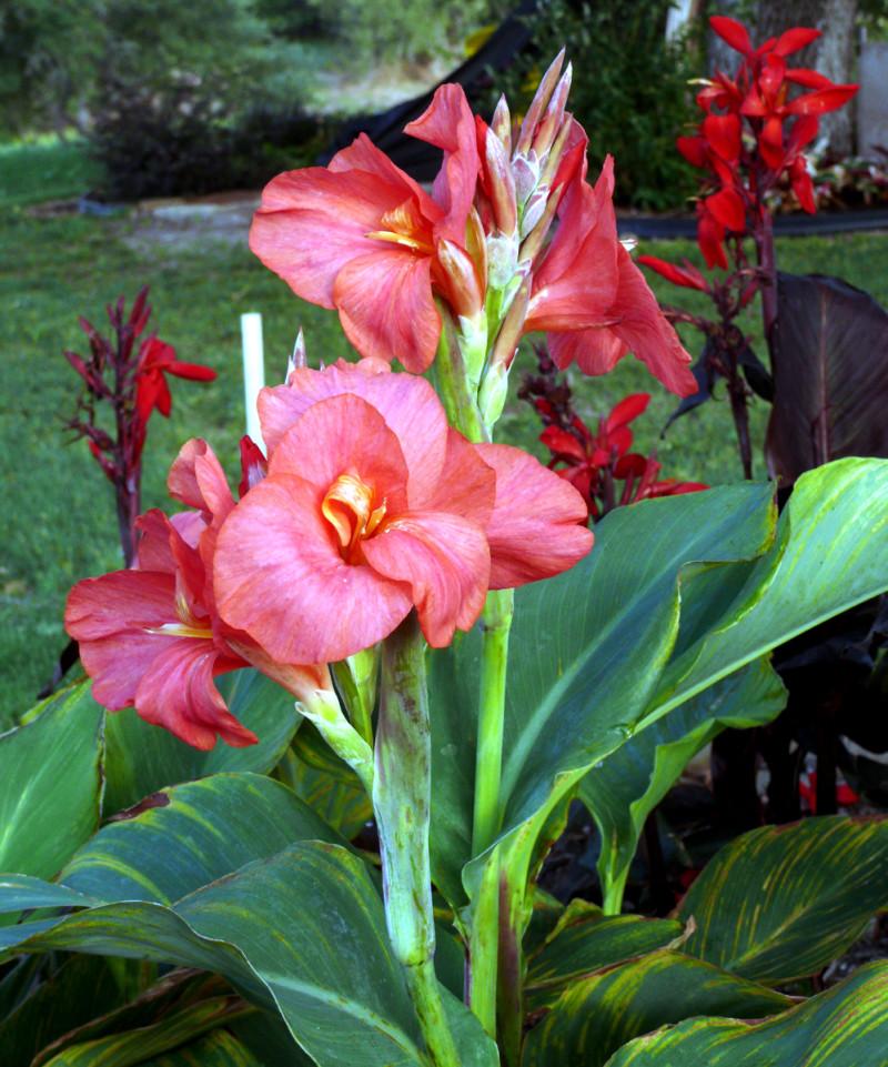 Фото 10: Canna lilies