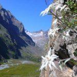 Фото 49: Рост эдельвейса на вертикальном склоне