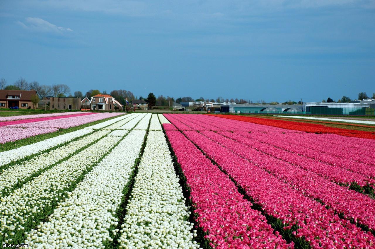 Фото 44: Поле тюльпанов