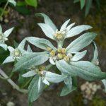 Фото 53: Leontopodium jacotianum