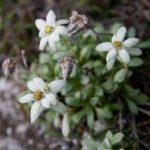 Фото 58: Leontopodium Shinanense